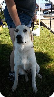 Great Pyrenees/Anatolian Shepherd Mix Puppy for adoption in Fort Worth, Texas - Sunnie