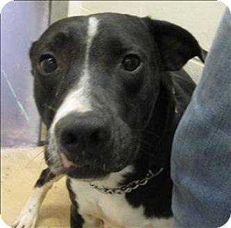 Labrador Retriever Mix Dog for adoption in Atlantic City, New Jersey - Gumby