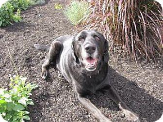 Labrador Retriever Dog for adoption in San Francisco, California - Abby