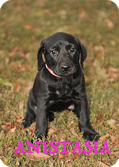 Labrador Retriever Mix Puppy for adoption in Colmar, Pennsylvania - Anistasia