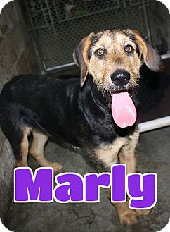 Airedale Terrier Dog for adoption in Lawrenceburg, Kentucky - #219 Marly-VIDEO!