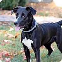 Adopt A Pet :: PUPPY KONA - richmond, VA