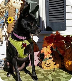 Chihuahua Dog for adoption in Providence, Rhode Island - Onyx aka Brandy in New England