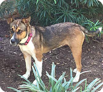 Shepherd (Unknown Type)/Corgi Mix Dog for adoption in Charlotte, North Carolina - Callie