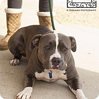 American Pit Bull Terrier Dog for adoption in Fredericksburg, Virginia - Spotsylvania Shelter #16- 'Venus'