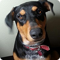 Adopt A Pet :: KODA - Hurricane, UT