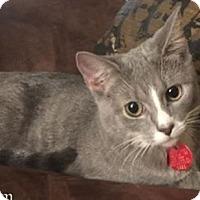 Domestic Shorthair Cat for adoption in Wayne, New Jersey - Esmerelda