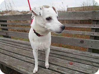 Jack Russell Terrier Mix Dog for adoption in Urbana, Illinois - MINI