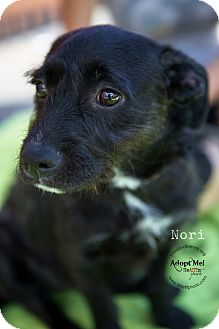 Patterdale Terrier (Fell Terrier)/Jack Russell Terrier Mix Puppy for adoption in Burbank, California - Nori
