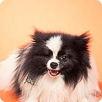 Adopt A Pet :: Moshe - Escondido, CA
