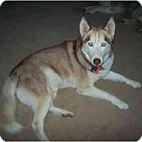 Adopt A Pet :: Yakone - Belleville, MI