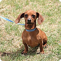 Adopt A Pet :: Summer (Sausage) - Hutchinson, KS