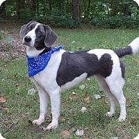 Adopt A Pet :: Sterling - Mocksville, NC