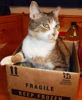 Bengal Cat for adoption in Laconia, Indiana - Bianca