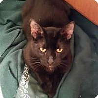 Domestic Shorthair Cat for adoption in Chicago, Illinois - Alejandro