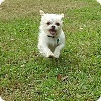 Adopt A Pet :: Bella - Alpharetta, GA