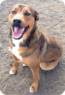 German Shepherd Dog/Chow Chow Mix Dog for adoption in Fort Benton, Montana - Rocky