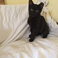 Domestic Shorthair Kitten for adoption in Virginia Beach, Virginia - Ella