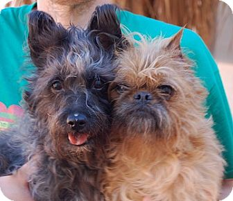 Cairn Terrier Mix Dog for adoption in Las Vegas, Nevada - Cindy