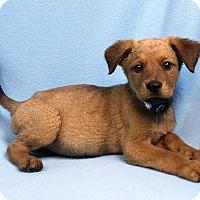 Adopt A Pet :: DAVID - Westminster, CO