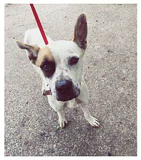 Great Dane Mix Dog for adoption in Everman, Texas - Joe
