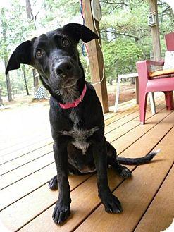Labrador Retriever Mix Puppy for adoption in Newark, Delaware - Raven (Courtesy Post)