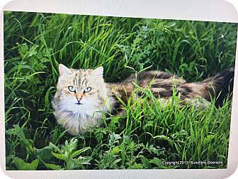 Siberian Cat for adoption in Weatherford, Texas - *Lily*