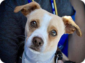 Chihuahua Mix Dog for adoption in Long Beach, California - Travis