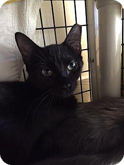Domestic Shorthair Kitten for adoption in Chicago, Illinois - Sheba of Bellwood