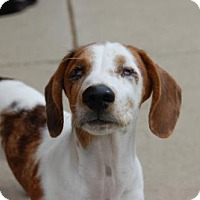 Dachshund Puppy for adoption in Wedgefield, South Carolina - Ray Charles