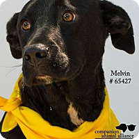 Labrador Retriever/Collie Mix Dog for adoption in Baton Rouge, Louisiana - Melvin
