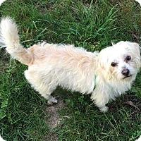 Adopt A Pet :: Becka - Renton, WA