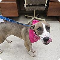 Adopt A Pet :: Shelbie - Laingsburg, MI