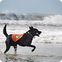 Labrador Retriever/Shepherd (Unknown Type) Mix Dog for adoption in Bluffton, South Carolina - Traveler