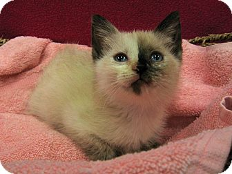 Siamese Kitten for adoption in Redwood Falls, Minnesota - Zora
