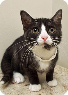 Domestic Shorthair Kitten for adoption in Plainfield, Illinois - Sylvester