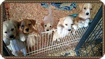 Labrador Retriever/Terrier (Unknown Type, Medium) Mix Dog for adoption in Granbury, Texas - Lab/Terrier Pups