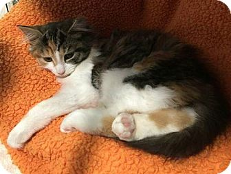 Domestic Mediumhair Kitten for adoption in Freeport, New York - Ivy