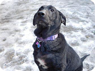 Labrador Retriever Dog for adoption in Millerstown, Pennsylvania - DAPHNE