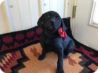 Labrador Retriever/Catahoula Leopard Dog Mix Puppy for adoption in richmond, Virginia - PUPPY CONNIE