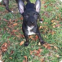Adopt A Pet :: Gidget - Wenonah, NJ