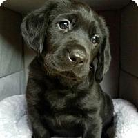 Adopt A Pet :: Lemonade's Miracle - Alexandria, VA