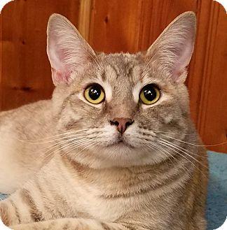 Domestic Shorthair Kitten for adoption in Jeannette, Pennsylvania - Sushi