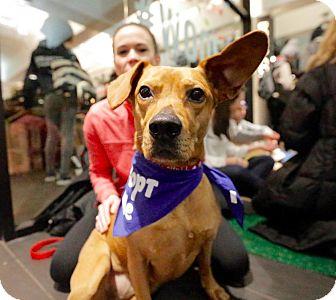 Redbone Coonhound/Labrador Retriever Mix Dog for adoption in New York, New York - Gracie