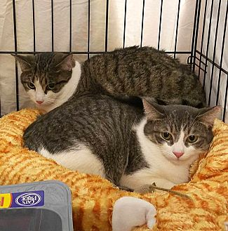 Domestic Shorthair Cat for adoption in Lombard, Illinois - Beaver