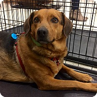 Adopt A Pet :: Lolly 1 in CT - Manchester, CT