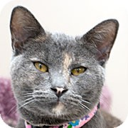 Domestic Shorthair Cat for adoption in Grand Rapids, Michigan - TWILL