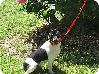 Rat Terrier Mix Dog for adoption in Stilwell, Oklahoma - Squirt