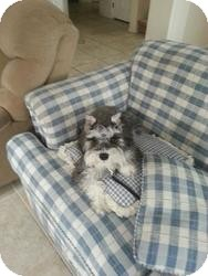 Schnauzer (Miniature) Puppy for adoption in Las Vegas, Nevada - BB