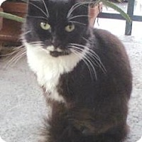 Domestic Mediumhair Cat for adoption in Miami, Florida - Tuxedo